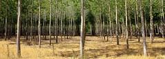 II-II-II (Ferny Carreras) Tags: trees arboles 11 line bosque lineas simetry simetria chopos oltusfotos