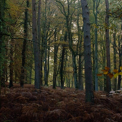 Islands Thorn Inclosure (Skink74) Tags: wood uk morning autumn england 20d forest mixed hampshire canoneos20d bracken lush ferns newforest beech damp nikkor35f14 islandsthorninclosure nikkor35mm114ai