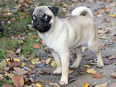 Saxo le carlin (home77_Pascale) Tags: dog chien carlin
