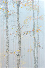 those days ... (Sandra Bartocha) Tags: autumn fall fog nebel fineart herbst highkey birches birken