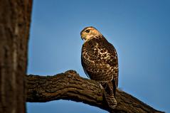 Hawk (mizzginnn) Tags: portrait sky tree birds nikon hawk perch metroparks d90 winternw11 nww12
