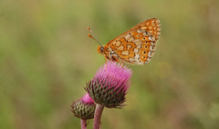 Fritillary, Bulgaria. (Sky and Yak) Tags: butterfly bulgaria fritillary