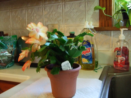 Thanksgivng Cactus