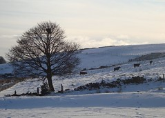 Sentinel Tree in the Snow, Baildon Moor