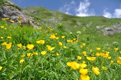 Yellow flowers, alpine plant #1 -高山植物@白馬岳- (mukarin) Tags: mountain flower yellow japan landscape nikon 花 山 hakuba nagano 風景 白馬 景色 alpineplant 高山植物 d90 白馬岳 黄 flowerscolors 18200m mtshirouma afsdxnikkor18200mmf3556gedvrii
