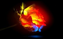 Ember-Rose-Butterfly-Love (maf04) Tags: flower nature rose butterflies ember rosesforeveryone