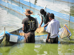 Egg collection at National Aquaculture Centre, Domasi, Malawi. Photo by Asafu Chijere, 2010 (WorldFish) Tags: africa malawi aquaculture subsaharanafrica
