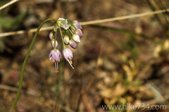 "Nodding Onion • <a style=""font-size:0.8em;"" href=""http://www.flickr.com/photos/63501323@N07/6389785153/"" target=""_blank"">View on Flickr</a>"