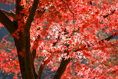 Shinning Maple (peaceful-jp-scenery) Tags:        shosenkyo dslra700 sal70300g sony70300g
