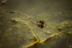 water spider (avie21) Tags: scotland spider pond wildlife aquatic lothian waterspider