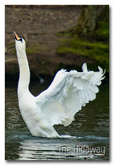 Stretch! (Simon Bone Photography) Tags: uk bird nature neck swan long bigma wildlife stretch 7d flap sigma50500mm wwwthehidawaycouk tehidycountrypark canoneos7d thewonderfulworldofbirds