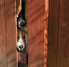 Hello! (peter.a.klein (Boulanger-Croissant)) Tags: hello beagle dogs fence nose mutt funny peekaboo humor peek