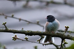 Junco (2 of 2) (absencesix) Tags: usa cute home nature birds animals washington backyard unitedstates wildlife noflash redmond april northamerica locations iso1600 2012 wildanimals songbirds 200mm oregondarkeyedjunco darkeyedjuncojuncohyemalis englishhill camera:make=canon geo:state=washington exif:make=canon exif:iso_speed=1600 geo:city=redmond canoneos7d canon7d apertureprioritymode hascameratype adjectivesfeelingdescription haslenstype selfrating3stars exif:focal_length=200mm 1250secatf28 geo:countrys=usa ef70200mmf28lisiiusm camera:model=canoneos7d exif:model=canoneos7d exif:lens=ef70200mmf28lisiiusm exif:aperture=28 subjectdistanceunknown redmondwashingtonusa canonef7020028isii april12012 geo:lat=477206697 geo:lon=1221092737 474314n122633w sparrowsfamilyemberizidae