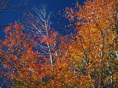 Surrounded . . . (Dr. Farnsworth) Tags: trees red sky orange fall colors leaves yellow mi maple intense colored bule fernridge october2011