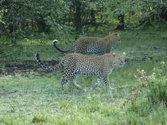 leopards in Masai Mara (Carlos Affonso) Tags: africa kenya safari masai maasai savanna masaimara maasaimara savana qunia