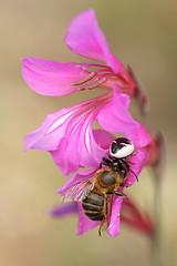 """""""Gladiolus illyricus"""" (carlespoveda) Tags: macro araa abeja presa insecto gladiolusillyricus"""