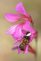 """Gladiolus illyricus"" (carlespoveda) Tags: macro araña abeja presa insecto gladiolusillyricus"