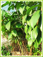 Cheilocostus speciosus (Crepe Ginger, White Costus, Cane Reed, Spiral Flag)