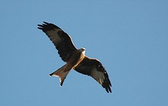 DSC_0053 Red Kite (PeaTJay) Tags: birds birdsofprey redkite carlsbirdclub