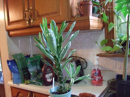 Euphorbia Nero 10-16-11