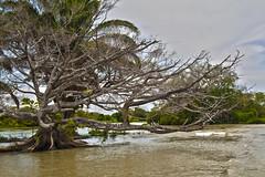Cienaga de Ayapel 7 (Jorge Gaviria) Tags: paisajes arbol atardecer gris colombia arboles paisaje cordoba atardeceres laguna sudamerica cao suramerica muoz garza suramrica cienaga ayapel cienagadeayapel