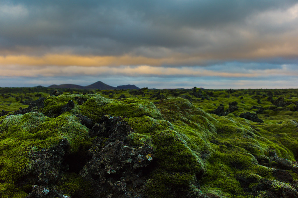 Iceland_Moss