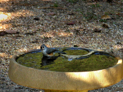 CrabAppleLane Titmouse - October 23, 2011