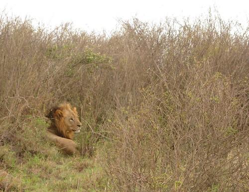 lion safari kenya africa nairobi