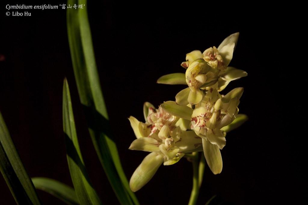 Cymbidium Ensifolium Orchid Cymbidium Ensifolium 39 fu