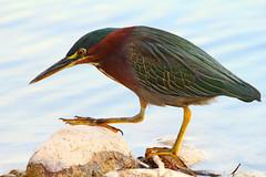 Green Stalker (Explored) (joecrowaz) Tags: city wild arizona color nature phoenix birds animals canon raw flash overcast manual citypark greenheron 550d ef100400mmf4556lisusm t2i