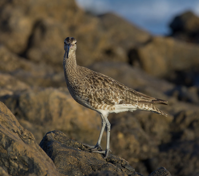 whimbrel 300mm on rocks look