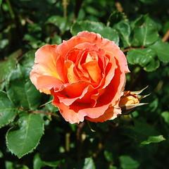 Rosa 'Brass Band' (dracophylla) Tags: tasmania rosaceae royaltasmanianbotanicalgardens rosabrassband floribundsrose friendsmixedborder