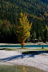 Tree (Karmen Smolnikar) Tags: autumn lake tree fall nature yellow slovenia slovenija jasna kranjskagora