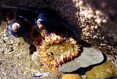 DSC03388 (Kerazie.Meditrina) Tags: ocean pink sea orange color green oregon seashells star sand rocks underwater seaanemone