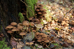 Tree and mushrooms (Suzanne Talens) Tags: wood autumn brown green nature mushroom forest mushrooms weide bomen woods groen herfst thenetherlands boom heath stump bos forests paddestoel heide sunnyday indiansummer bruin paddenstoelen bossen dwingeloo vlakte nazomer boomstronk