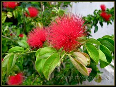 Calliandra emarginata (Dwarf Powder Puff, Powderpuff Plant) in our garden, Oct 24 2011