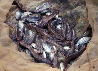 Aquaculture, Quirino Project, Philippines. Photo by WorldFish, 1999