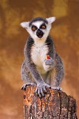 [フリー画像素材] 動物 1, 猿・サル, ワオキツネザル ID:201111081000