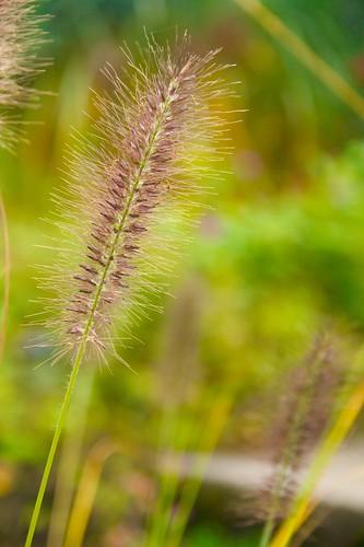 pennisetum redhead  913