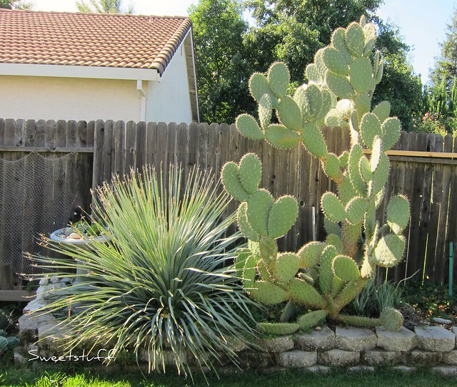 Dasylirion wheeleri  and Opuntia Engelmann