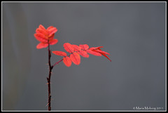 Red Leaves (mmoborg) Tags: 2011 mmoborg mariamoborg