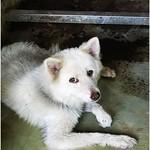 『善化收容所』1106成犬區,黃金獵犬、拉拉多、米格魯多、邊境、秋田、鬆獅、米克斯、牛頭梗、梗、現場為準、20111107 thumbnail