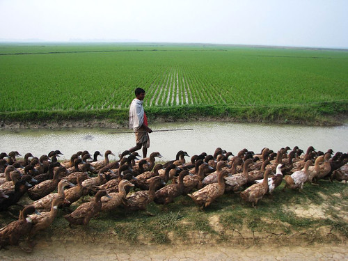 Duck culture is common in haor area, Sunamganj, Bangladesh. Photo by Balaram Mahalder, 2008
