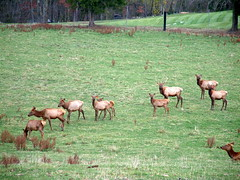 Emus and Elk Near Altenburg Missouri 2 (whitebuffalobk) Tags: fence missouri emu elk altenburg