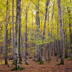Otoo en la Selva de Irati (Hoellemeister) Tags: autumn color colour leaves forest hojas herbst selva bosque otoo wald bltter farbe foret irati