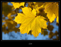 (Aleksandar Andjelkovic) Tags: autumn leaf list yellowleaf srbija cacak jesen alberoefoglia aleksandarandjelkovic zutilist aleksandarandjelkovicphotography aleksandarandjelkovicfotografije