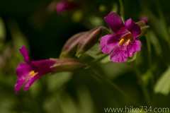 """Lewis Monkeyflower • <a style=""""font-size:0.8em;"""" href=""""http://www.flickr.com/photos/63501323@N07/6338120529/"""" target=""""_blank"""">View on Flickr</a>"""