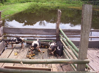Aquaculture and live stock, Cameroon. Photo by Randall Brummett, 2002