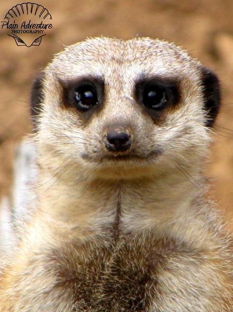 Wildlife Photography Number 19- Meerkat