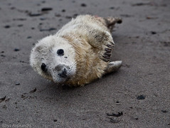 Injured Seal Pup (Rhys A.) Tags: england cute beach fur britain wildlife adorable seal seals pup northern berwick upon injured tweed